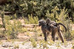 Baboon mothership (HansenBenHansen) Tags: hoanib wüstenelefanten bärenpavian pavian baboon africa afrika namibia sony sonyalpha7ii sonya7ii a7ii a7 alpha7ii alpha7 sony⍺7markii ⍺7ii ⍺7 sony⍺7 desert elephants hoanibvally sonyalpha7 ilce7 emount fullframe tamron150600 7ii ⍺7markii ilce7ii sony⍺7ii animals tiere wildlife nature natur ilce vollformat sigmamountconvertermc11 canonefsonyemount