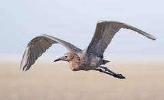 Reddish Egret (jmc200903) Tags: heron reddish beach sand egret bird wild nature flight