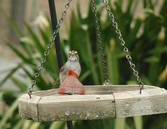 White-throated Sparrow (mcnod) Tags: mcnod sparrow whitethroatedsparrow cardinal elkridge february 2019