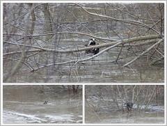nicht sein Element (Maggi_94) Tags: badger dachs melesmeles hochwasser hallesaale