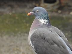 Wood Pigeon (Simply Sharon !) Tags: woodpigeon pigeon bird wildlife britishwildlife nature inthegarden gardenvisitor march