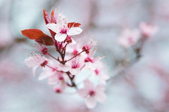 Blossom (craig.denford) Tags: blossom cherry windsor berkshire canon 7d mk ii craig denford