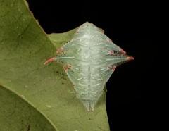 """Stinging Nettle Slug Caterpillar (Cup Moth, Phrixolepia sp., Limacodidae) """"Snowflake"""" (John Horstman (itchydogimages, SINOBUG)) Tags: insect macro china yunnan itchydogimages sinobug entomology canon above cup moth lepidoptera limacodidae stinging nettle slug caterpillar larva snowflake fbl"""