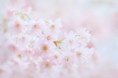 Breath Of Spring (Anna Kwa) Tags: blossoms spring primavera memories macro bokeh annakwa nikon d750 1050mmf28 my breath delicate always seeing heart soul throughmylens life journey fate destiny