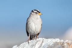White Crowned Sparrow (Linda Martin Photography) Tags: whitecrownedsparrow spencerspitstatepark usa wa zonotrichialeucophrys pugetsound us nature washingtonstate lopezisland naturethroughthelens ngc npc