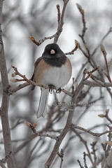 Goodbye To Winter (TNWA Photography (Debbie Tubridy)) Tags: darkeyedjunco junco winter backyard visitor bare cold colorado bird nature wildlife feederbird barebranches perched natural habitat environment behavior wild rural outdoors debbietubridy tnwaphotography