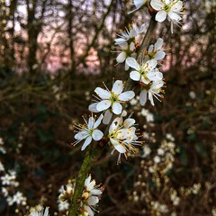 Blossom 🌸 (Jos Mecklenfeld) Tags: bos forest natuur nature lente spring bloesem blossom