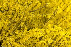 Bloeiend hout (Ernst-Jan de Vries) Tags: forsythia chineesklokje bloeiendhout heester geel struik lente eastertree yellow plant flower bloem bloei spring shrub bush canon 50 5014 bokeh