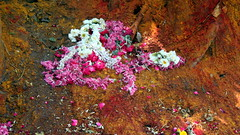 chennai colors (3) (kexi) Tags: chennai tamilnadu india asia shrine colors flowers wilted canon february 2017 instantfave wallpaper