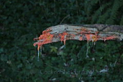 Slim mold (2) (Geckoo76) Tags: mushroom fungus slimemold