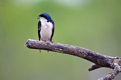 Swallow- Tree Swallow Minnesota, Ramsey County- White Bear Lake, Tamarack Nature Center (EC Leatherberry) Tags: swallow bird wildlife minnesota treeswallow ramseycounty whitebearlakeminnesota tamaracknaturecenter tachycinetabicolor