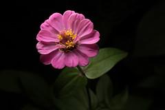 zinnia (aliffc3) Tags: zinnia mesaieed qatar flower nikond750 sigma150apo