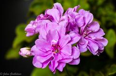 Pelargonium (Johan Grobbelaar) Tags: persmalva