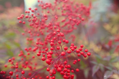 .✫*゚・゚。.★.*。・゚✫*. (amber {in the shadow of za'ha'dum}) Tags: canon5d canon5dmk3 sigma sigma35mmf14 f14 bokeh bokehlicious natureycrap nature tra totallyradactions pixelsugar oregon beaverton portland 2019 365days berries winter january canon 35mm