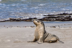Sea Lion cub, Kangaroo Island, South Australia (1daveclarke) Tags: sea lion cub kangaroo island australia