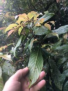 Rockinghamia angustifolia (FNQ vines) Tags: rockinghamia angustifolia mountainkamala kamala leaf arffs redarffs greenarffs arfp australianrainforestplants uplandarf qrfp queensland euphorbiaceae towalla wooroonoorannationalpark tropicalarf