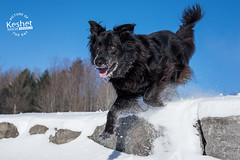 Picture of the Day (Keshet Kennels & Rescue) Tags: adoption dog ottawa ontario canada keshet large breed dogs animal animals pet pets field nature photography winter snow retriever jump leap rock down play fun happy sunny blue sky mix