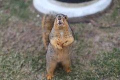 218/365/3870 (January 15, 2019) - Fox Squirrels in Ann Arbor at the University of Michigan - January 15th, 2019 (cseeman) Tags: gobluesquirrels squirrels foxsquirrels easternfoxsquirrels michiganfoxsquirrels universityofmichiganfoxsquirrels annarbor michigan animal campus universityofmichigan umsquirrels01142019 winter eating peanuts acorns januaryumsquirrel 2019project365coreys yearelevenproject365coreys project365 p365cs012019 356project2019