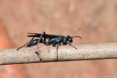 Blue Mud Dauber (Chalybion californicum) (JHousePhotos) Tags: arkansas wasps sphecidae