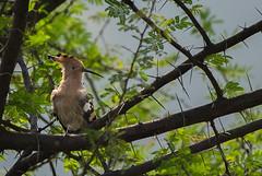 HoskoteBirding_Jan2019_D75_8551 (mgcs) Tags: birds indianbirds karnataka nikond750 nikkor200500 wild handheld