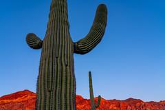 Painted Red (Amar Raavi) Tags: saguaro cactus plant mountajo mountain sunset red colorful sonorandesert desert desolated remote outdoors travel drive landscape organpipecactusnationalmonument nationalmonument arizona usa