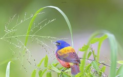 Riot of Colors (agnish.dey) Tags: bird birding birdwatching bokeh bunting paintedbunting portrait perched naturallight nature naturephotograph nikon naturethroughthelens wildlife coth colors songbird florida d500 animalplanet