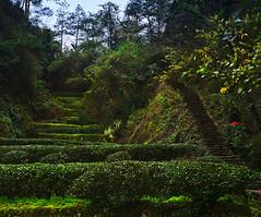 Dahongpao (dr_scholz@ymail.com) Tags: 大红袍 tea oolong plantation mountain wuyishan path terraces vegetation landscape tree 武夷山 forrest field leicam240 summicron50mmf20