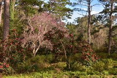 Alfred B. Maclay Gardens State Park, Tallahassee, Florida (vacationer1901) Tags: florida tallahassee alfredbmaclaygardensstatepark camellias azaleas lakehall japanesemagnolias reflectionpond sagopalm