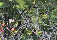 Streak-backed and Baltimore Orioles with Orange-fronted Parakeets (jd.willson) Tags: jd willson jdwillson nature wildlife birds birding playa flamingo costa rica streakbacked oriole