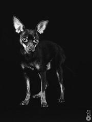 Ooligan en noir & blanc (Philippe Bélaz) Tags: 105mm nb ooligan pragois ratierdeprague animal animaux animauxdecompagnie brun chiens famille fauve focalefixe noir noirblanc portraitsanimalier