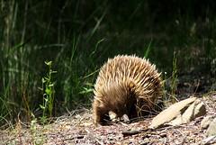 Echidna (Alfredo Sánchez-Tójar) Tags: wildlife australia animals vertebrate vertebrado nature naturaleza