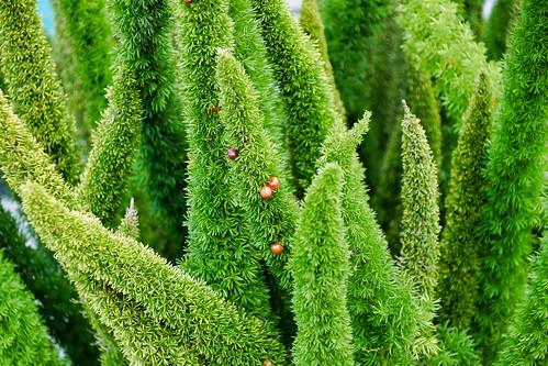 2019-02-23 - Nature Photography - Plants - Asparagus Foxtail Fern, Part 2