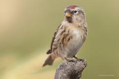 Happy days (Manon van der Burg) Tags: sigma canon80d vogelen happydays hidephotography birdlover birdphoto birdphotography birdwatching espelo barmsijs lesserredpoll