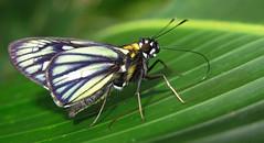 Carystus superbiens? (hippobosca) Tags: butterfly hesperiidae peru carystussuperbiens insect macro lepidoptera skipper
