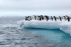 IMG_3699 (y.awanohara) Tags: adelie adeliepenguins penguins antarctica antarcticpeninsula wildlife january2019 icebergs ice icefloes