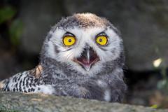 Portrait of the young snowy owl (Tambako the Jaguar) Tags: snowyowl owl bird black white young close portrait stone rock eyes chick openbeak plättli zoo frauenfeld nikon d5