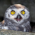 Portrait of the young snowy owl thumbnail