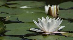 A star is born ... (johco266) Tags: waterlelie nymphaeaalba waterlily seerose pond vijver natuur natur nature macro macrophotography nikon onlanden groningen flora holland nederland