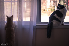 Watching the outside world. Happy Caturday (Irina1010) Tags: caturday cats pets sammy truffles window watching indoors canon 2019