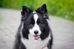 20190214_Coin每日散步 (6) (inmonkey62) Tags: coin border collie bordercollie flying discdog dog 狗 犬 pentax k3 sigma 70300mm f456