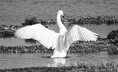 The Swan (dainesefreak) Tags: swan nature sony sonya7iii sigma150500 sonylaea3 animal rspb blackwhite