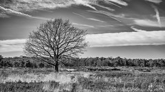 Solitary (Peter Jaspers (sorry, less time to comment)) Tags: frompeterj© 2019 olympus zuiko omd em10 1240mm28 winter kalmthout belgie belgium kalmthoutseheide grensparkdezoom bw bn blackwhite zwartwit solitary branches landscape grass heath moorland contrails sky clouds
