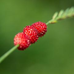 DSC08383 (anakkerud) Tags: strawberries strawberry