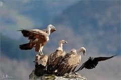 AA4I2432_DxO (jeanbaptistecouetlannes) Tags: vautours vautoursfauve vultures griffonvulture buitreleonado シロエリハゲワシ 西域兀赞 兀鷲 белоголовыйсип paysage paysbasque béarn pyrénées pyrénéesatlantique nature oiseaux birds bird oiseau