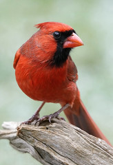 _A992600 (mbisgrove) Tags: a99m2 cardinal red bird canadian wings a99ii sal70400g2 sony