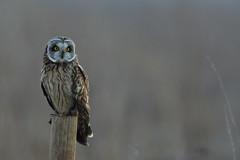 DSC02715 - Short eared Owl (steve R J) Tags: short eared owl wallasea island rspb reserve essex birds british