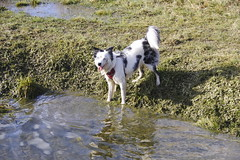 Lets play! (Sundornvic) Tags: puppy puddles water pool play sunshine collie welsh triblue merle
