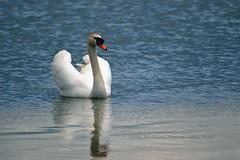 Birds : Swan (Nabil Molinari Photography) Tags: birds swan