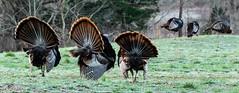 Dressed to Impress (Ronda Hamm) Tags: 100400mkii 7dii bird animal canon hen nature outdoor six threes tom turkey wildlife