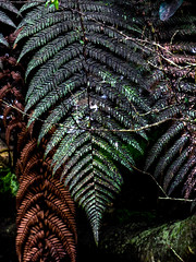 Floral Jewels (Steve Taylor (Photography)) Tags: fern digitalart black green brown bronze newzealand nz southisland canterbury christchurch leaves branch shiny plant metal pattern texture